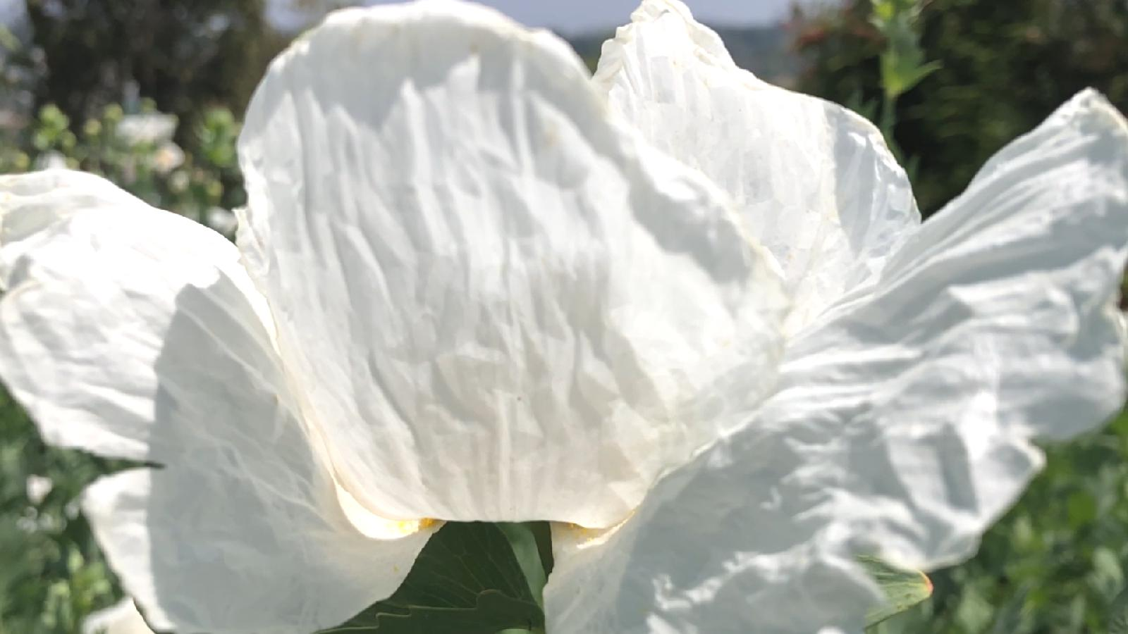 slide 1 - White Matilija Poppy Flower